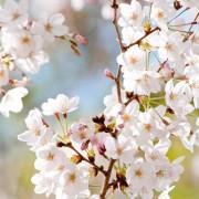 HP写真桜